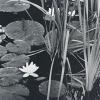WAAM-1985-21-12-Rohland-Water Palnts.jpg